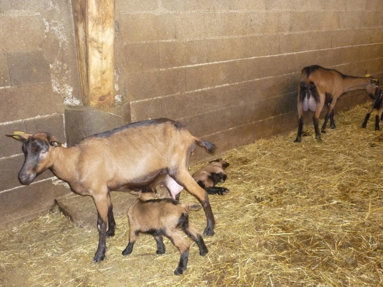 Chèvres de Fonteveille